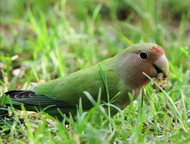 Alimentazione pappagallini agaporins