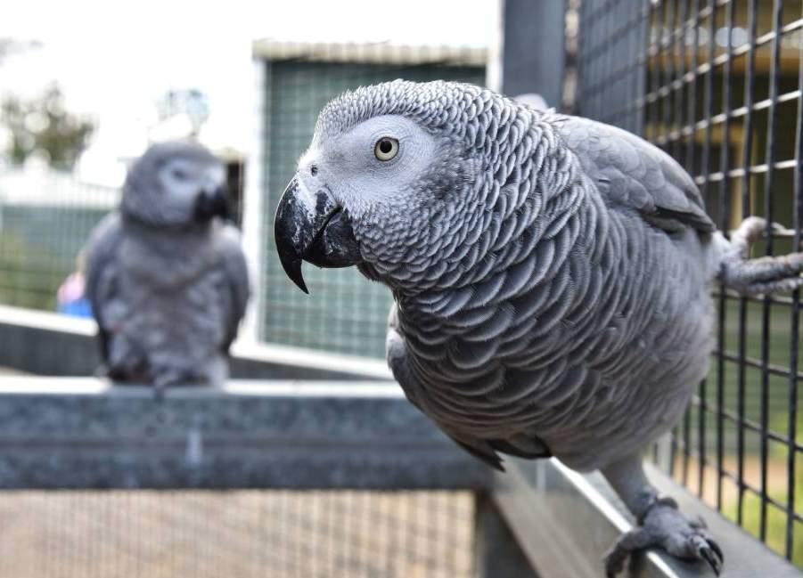 Allevare pappagalli all'aperto e al chiuso