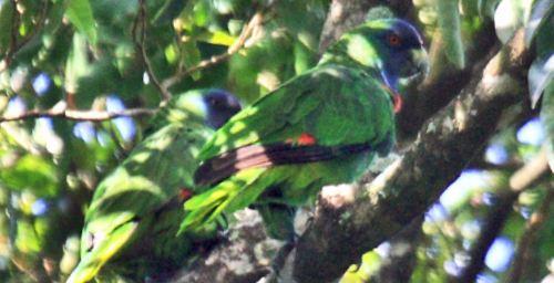 Amazona arausiaca