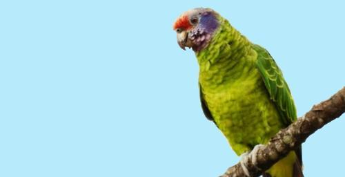 Amazona brasilensis