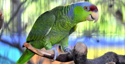 Amazona finschi