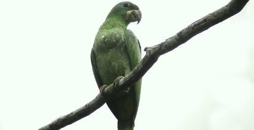 Amazona kawalli