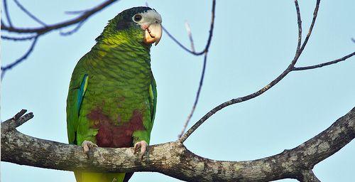 Amazona ventralis