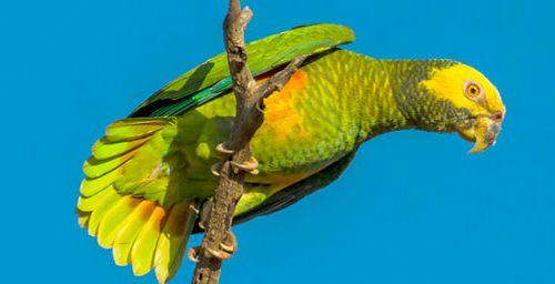 Amazona xanthops
