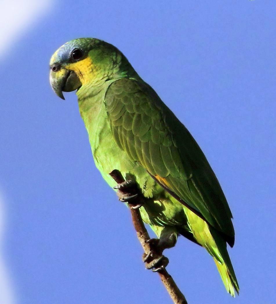 Amazzone dell'Amazzonia (amazona amazzonica)