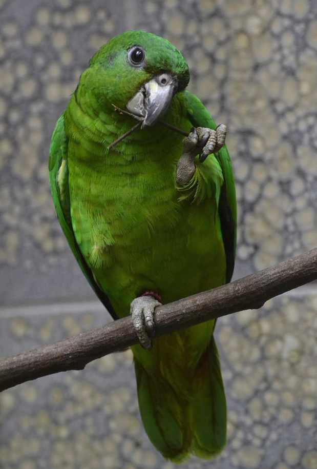Amazzone dal becco nero (Amazona agilis)