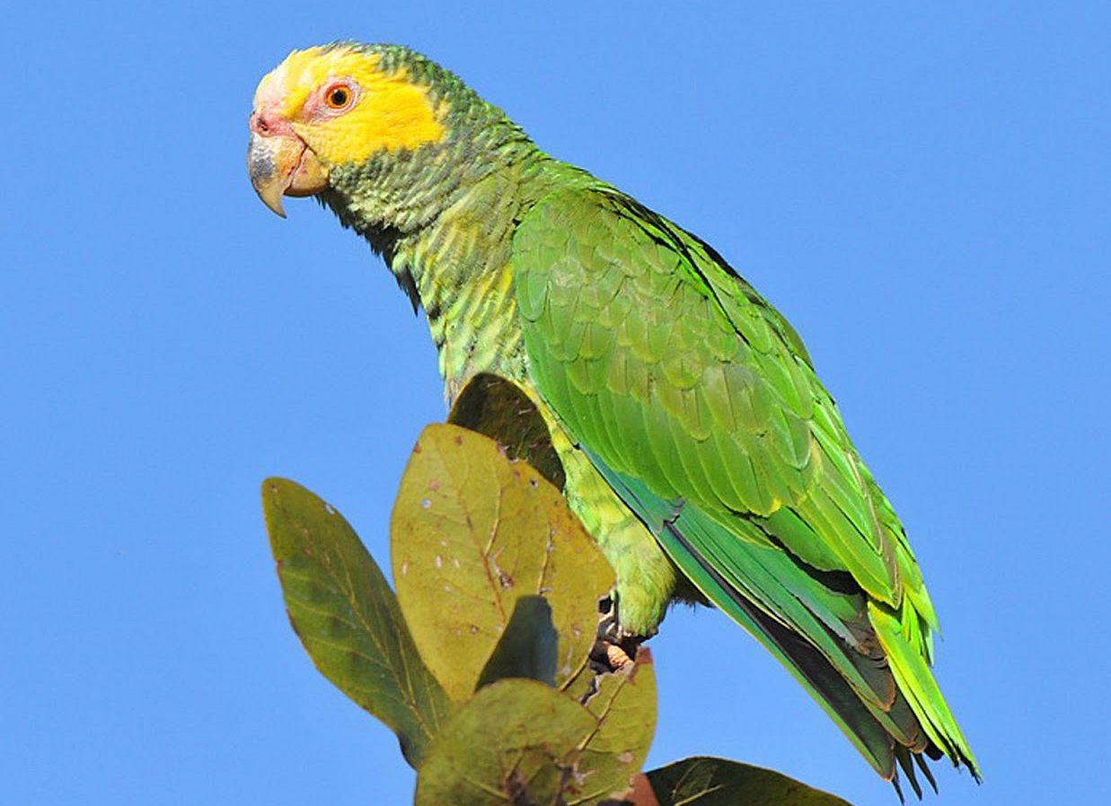 Amazzone faccia gialla (amazona xanthops)