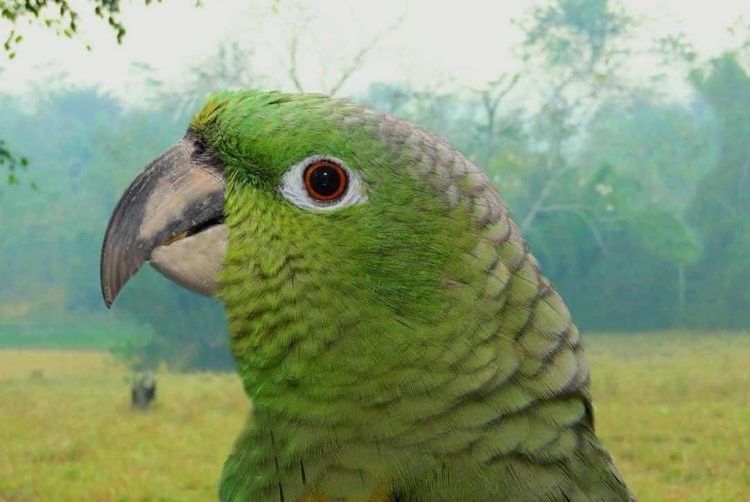 Amazzone farinosa (Amazona farinosa)
