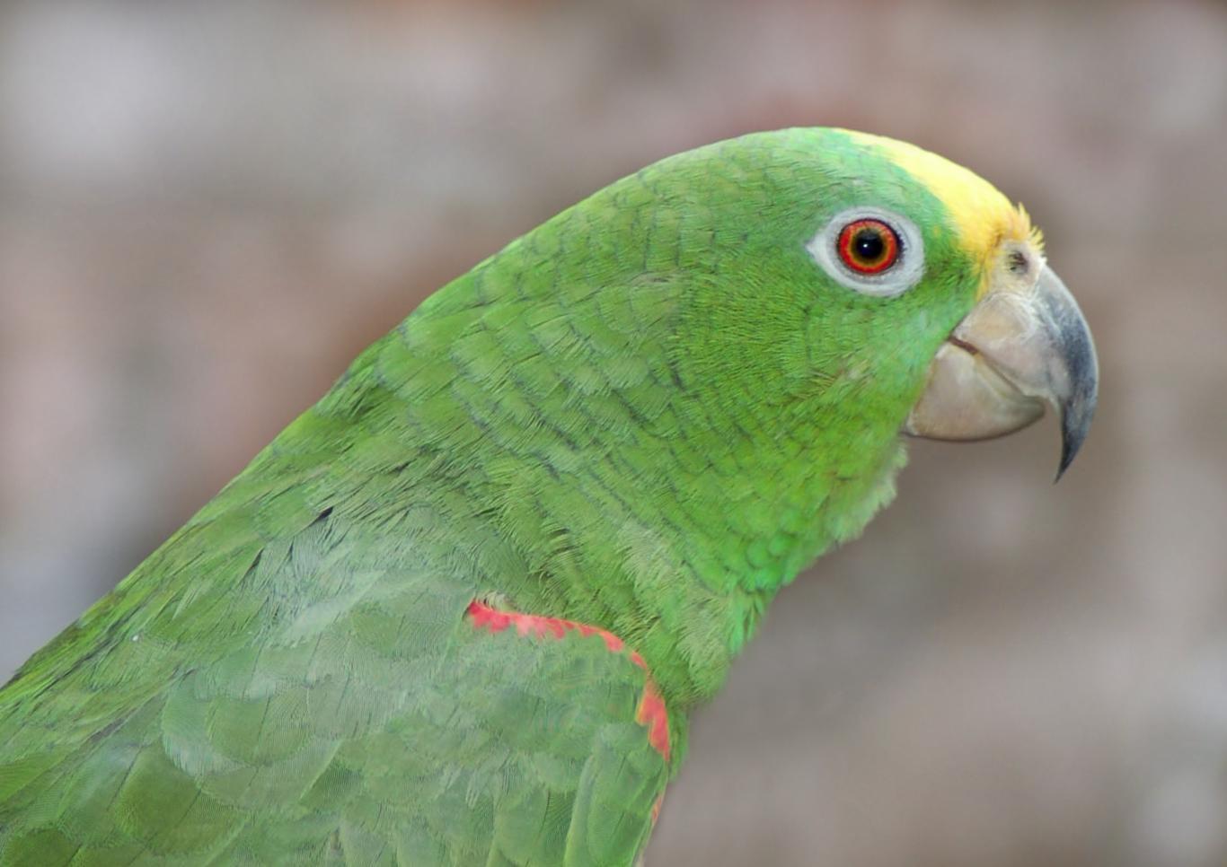 Amazzone fronte gialla (amazona ochrocephala)