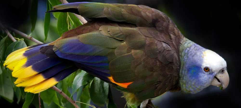 Amazzone di Saint Vincent (Amazona guildingii)