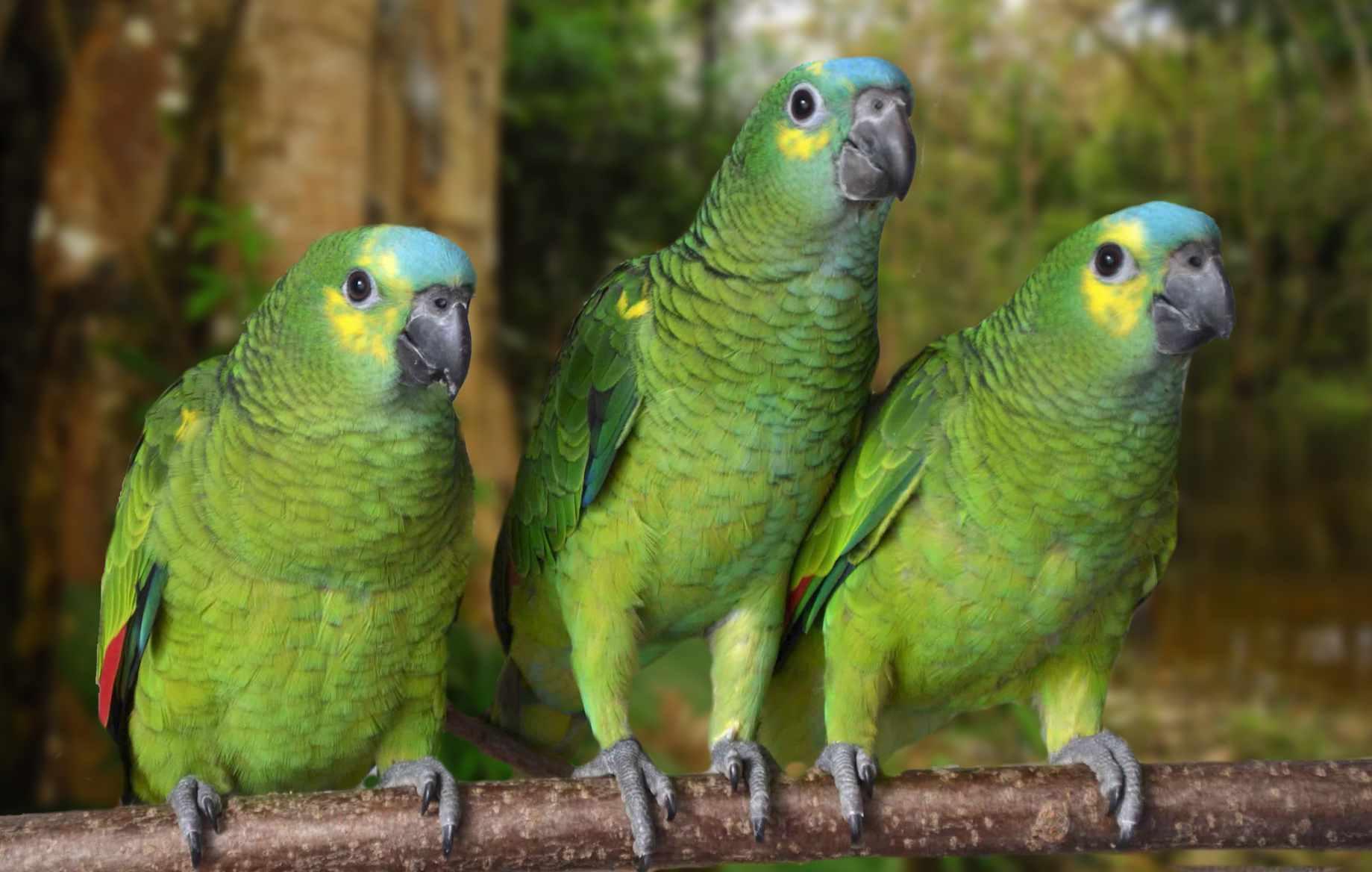 Tre amazzoni fronte blu (Amazona aestiva)