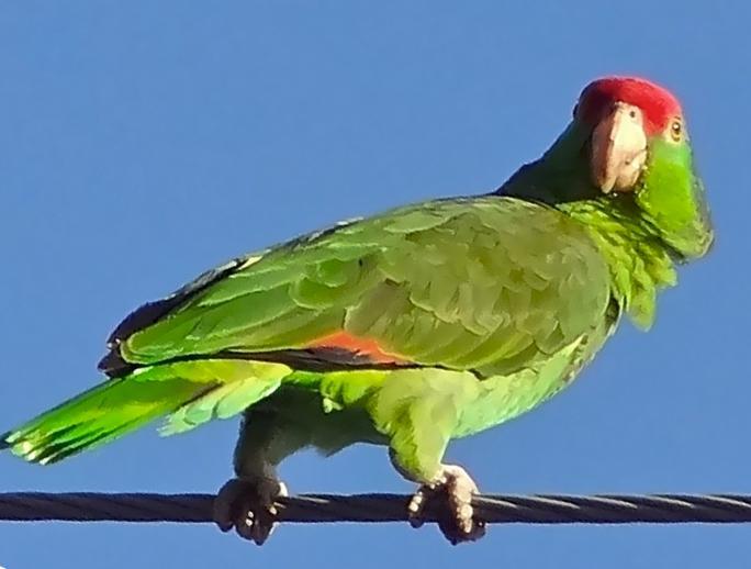 Amazzoni guance verdi al Parco Natura Viva