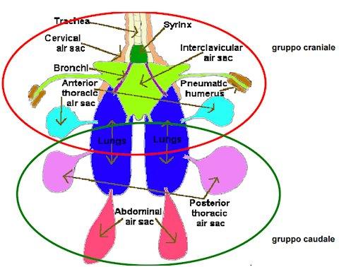 Apparato Respiratorio Pappagalli