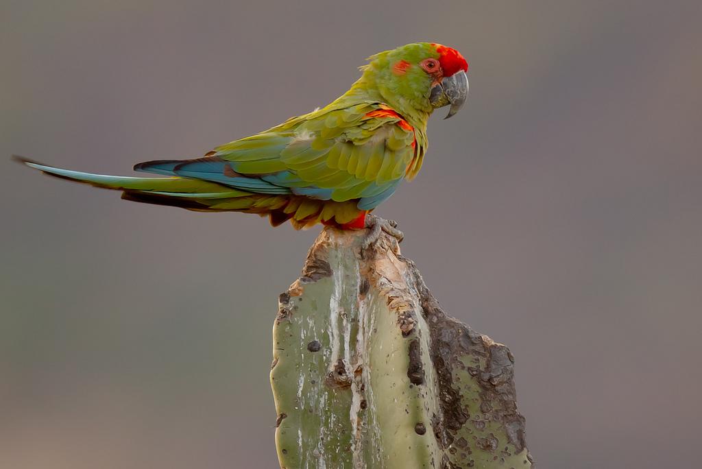 Magnifico esemplare di ara fronte rossa (ara rubrogenys))