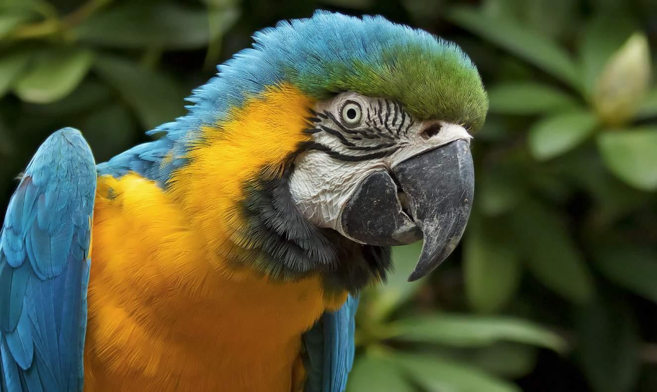 Ara gialla e blu (Ara ararauna)