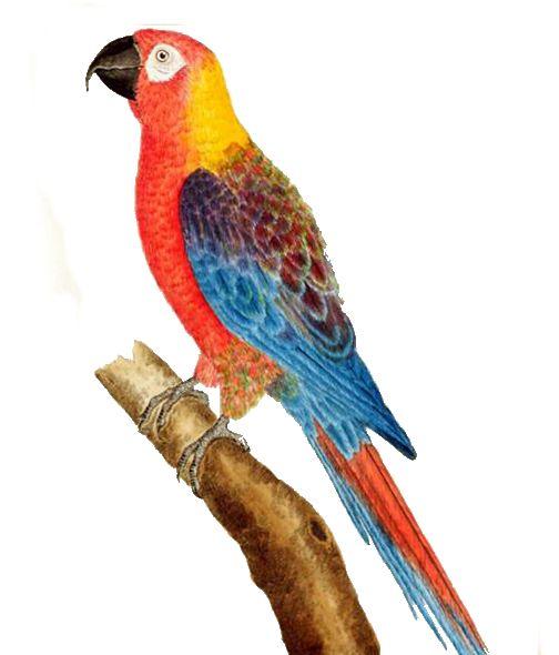 Ara rossa cubana