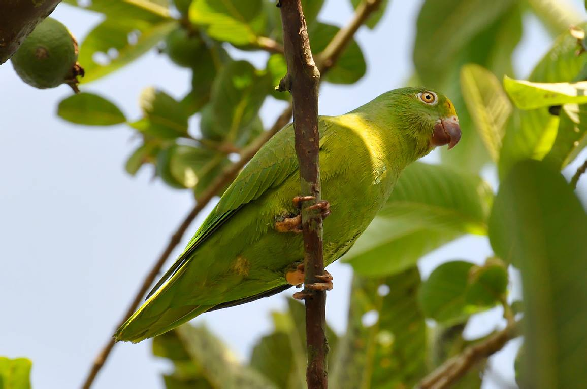 Pappagallino tui (Brotogeris sanctithomae)