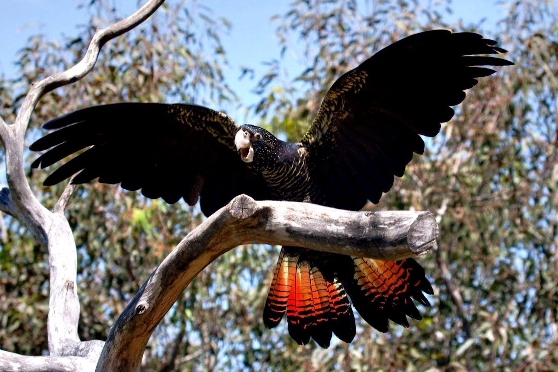 Cacatua nero magnifico (calyptorhynchus magnificus)
