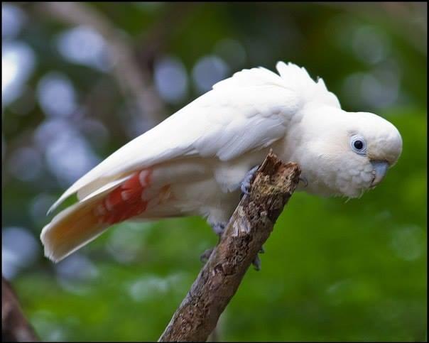Cacatua delle Filippine su un ramo (cacatua haematuropygia)