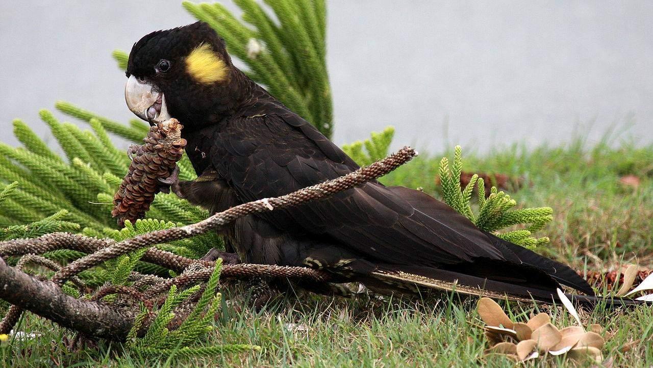 Cacatua nero a coda gialla (Calyptorhynchus funereus)