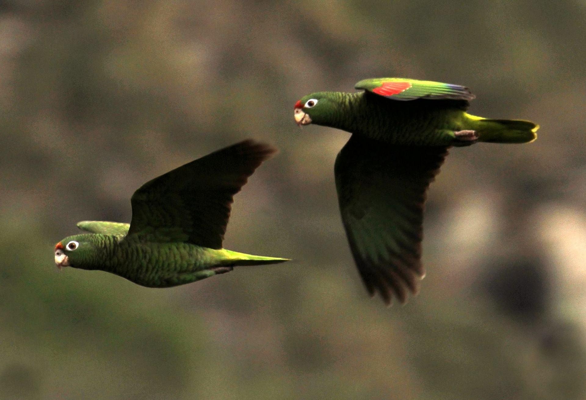 Amazzone di Tucuman (amazona tucumana)
