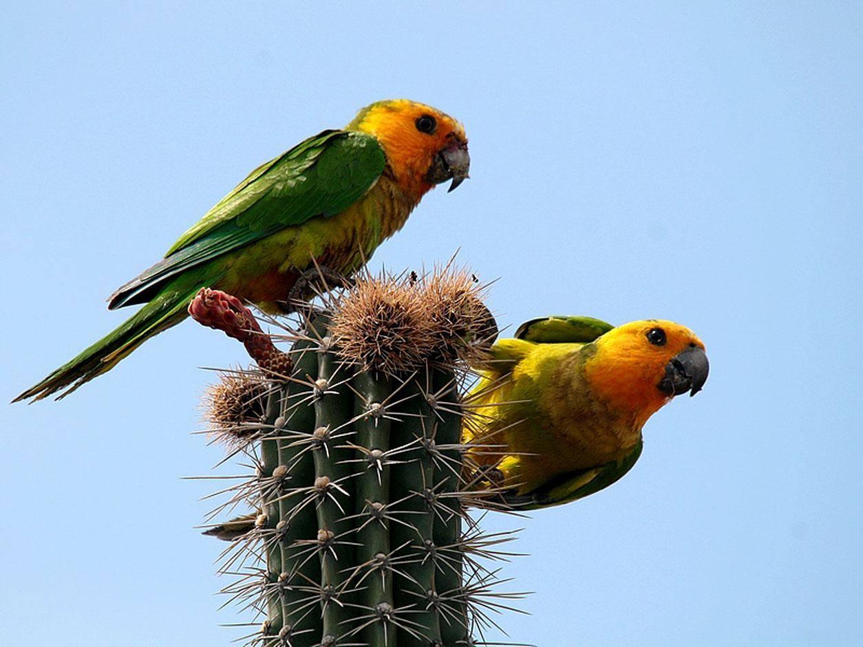 Coppia di pappagalli conuro gola bruna (eupsittula pertinax xanthogenia)