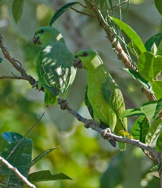 Coppia di pappagalli coda corta (Graydidascalus brachyurus)