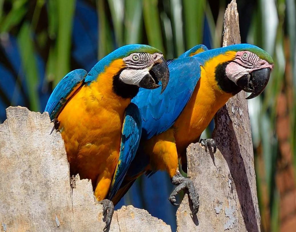 Coppia di Ara gialla e blu (Ara ararauna)