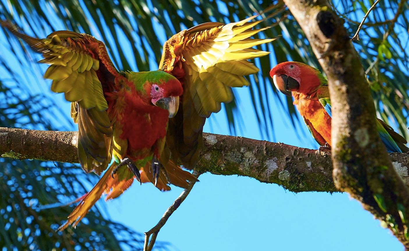 Coppia pappagalli ara ibridi