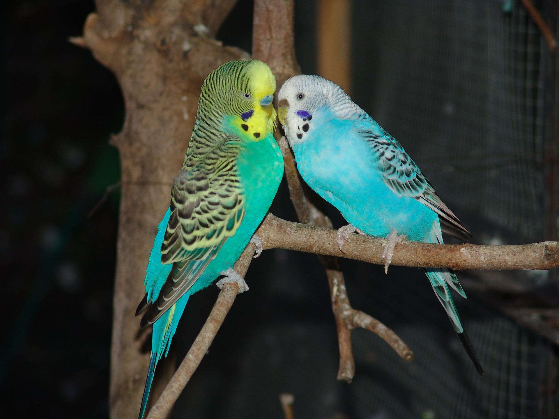 Coppietta di pappagallini ondulati (Melopsittacus undulatus)
