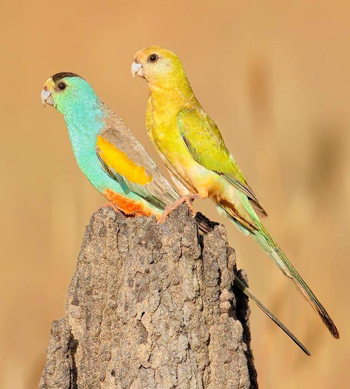 Coppia di parrocchetti ali gialle (psephotus chrysopterigius)