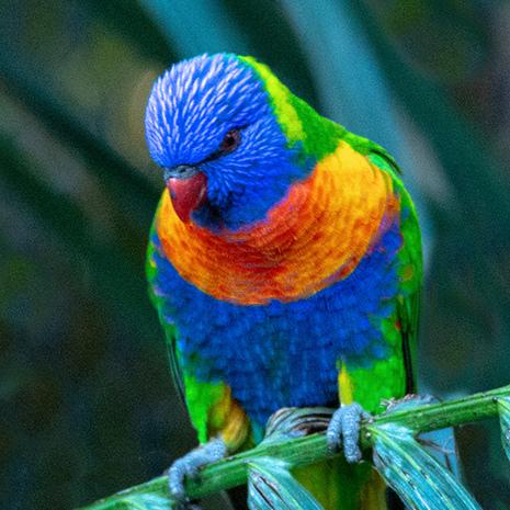Lori arcobaleno