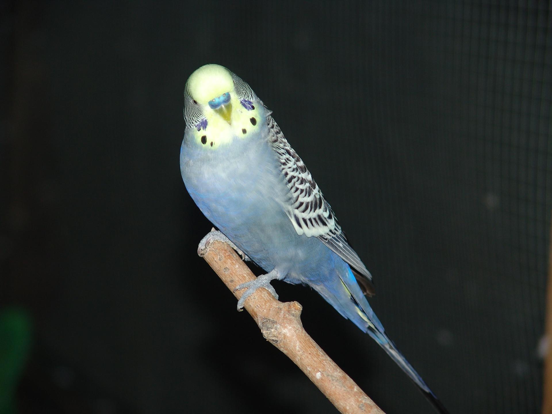 Pappagallino ondulato maschio (Melopsittacus undulatus)
