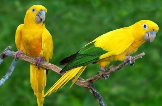 Pappagalli gialli