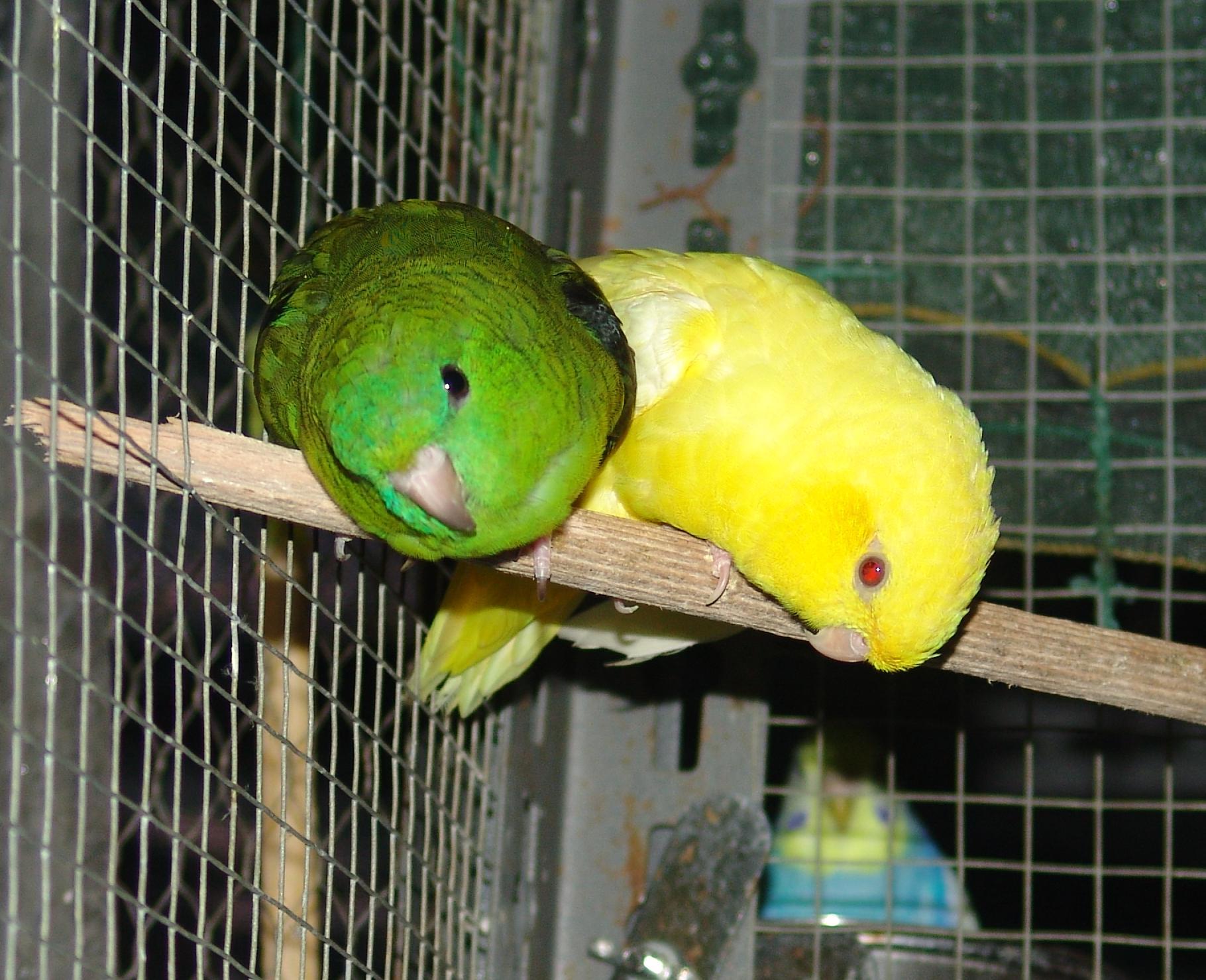 Coppia pappagallini barrati (Bolborhynchus lineola)