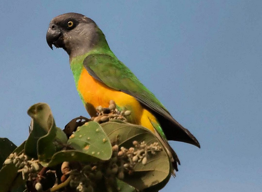 Pappagallo del Senegal (poicephalus senegalus)