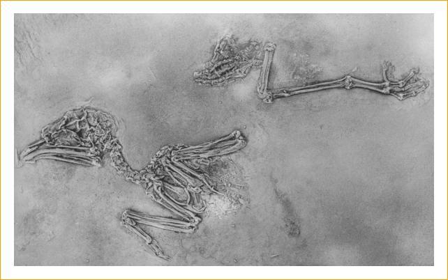 Fossile di Pappagallo