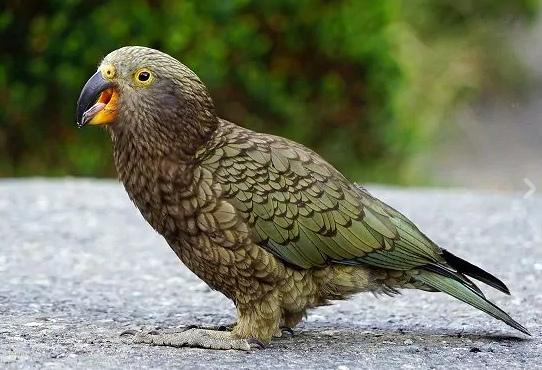 pappagallo Kea