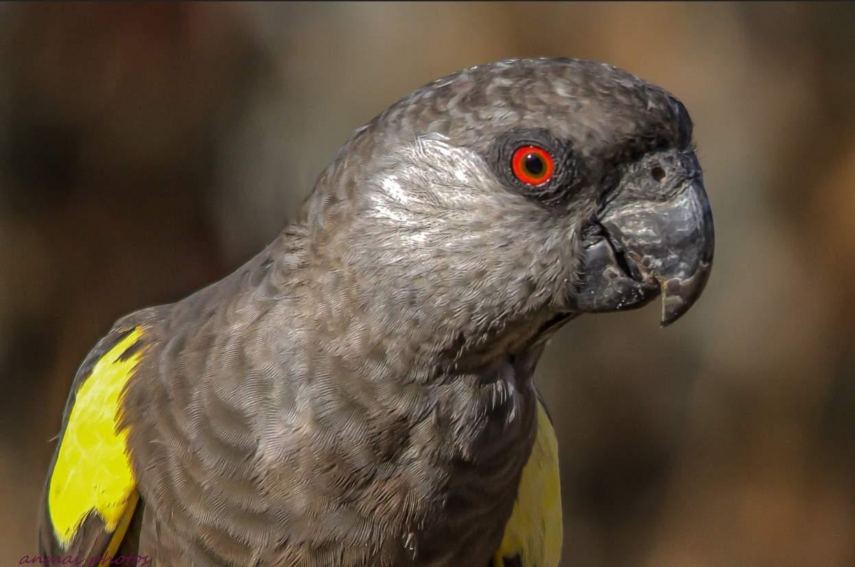 pappagallo di Ruppel (Poicephalus ruppellii)