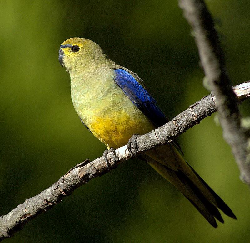 Parrocchetto ali blu (neophema chrysostoma) posato su un ramo