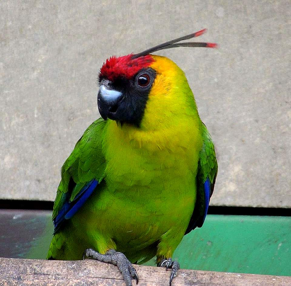 Parrocchetto cornuto (Eunymphicus cornutus)
