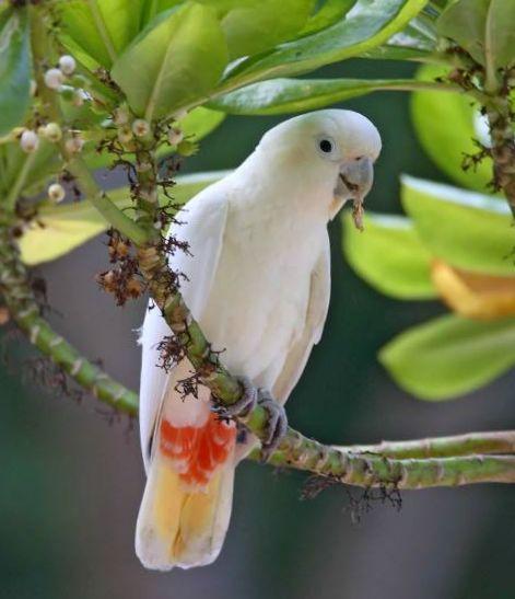 Cacatua delle Filippine (cacatua haematuropygia)
