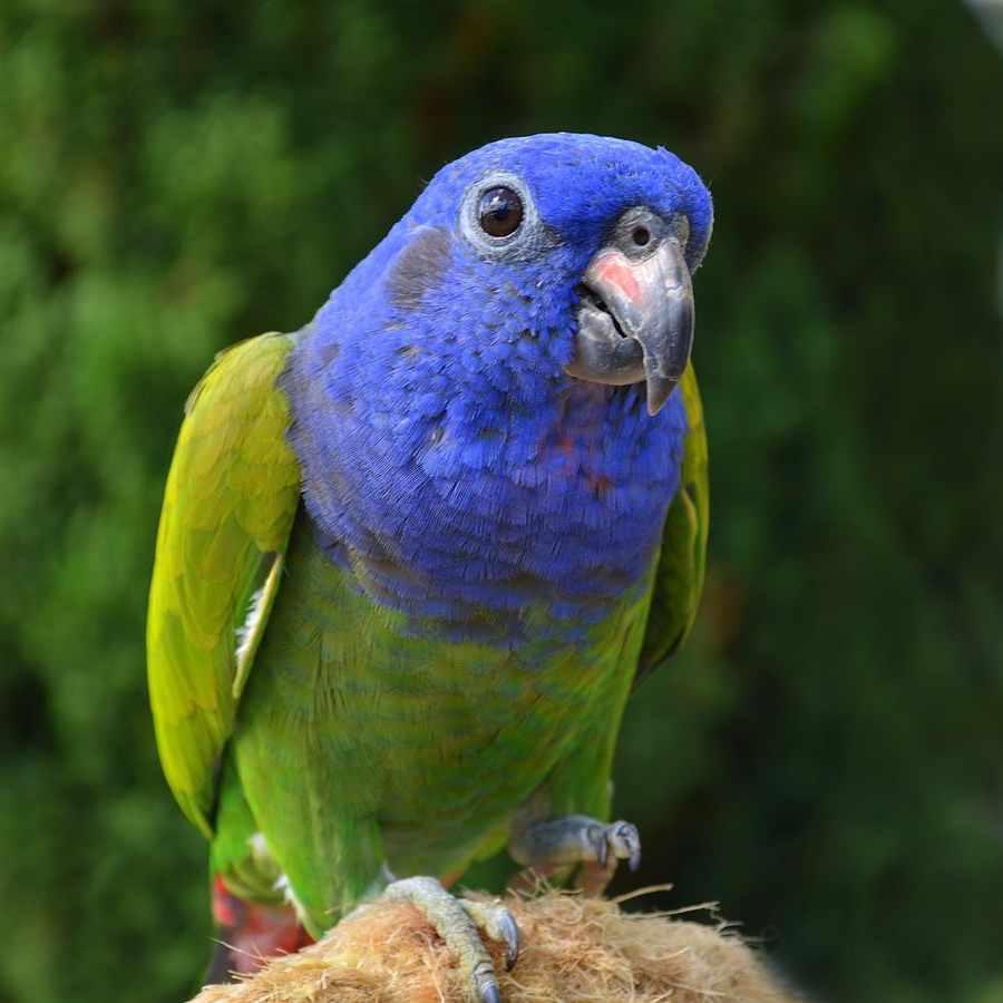 Pappagallo a testa blu (Pionus menstruus)