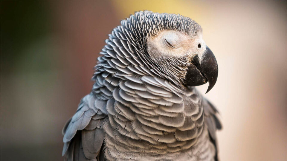 Psittacosi pappagalli
