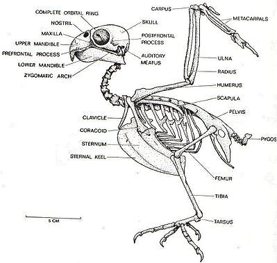L'apparato scheletrico dei pappagalli