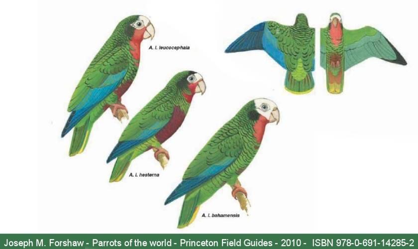 Sottospecie dell'amazzone di Cuba  (J.M. Forshaw - Parrots of the world - Princeton - 2010 - pag. 282)