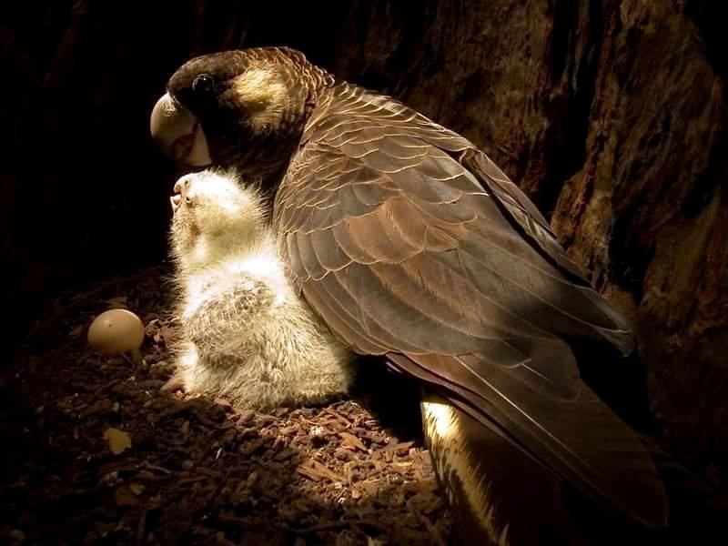 Vasa minore nel nido con il suo piccolo (Coracopsis nigra)