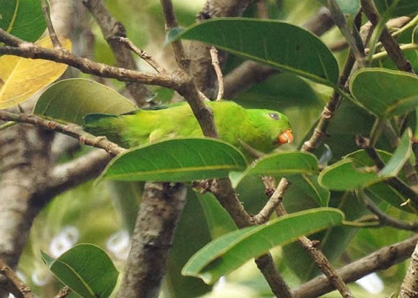 Loricolo gola gialla – Loriculus pusillus